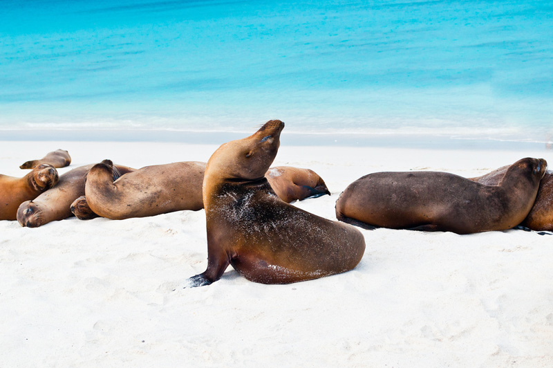 The Pacific Ocean, west of Ecuador, is the Galápagos Islands. The remote location has made them a home to wonderful wildlife - especially playful seals.