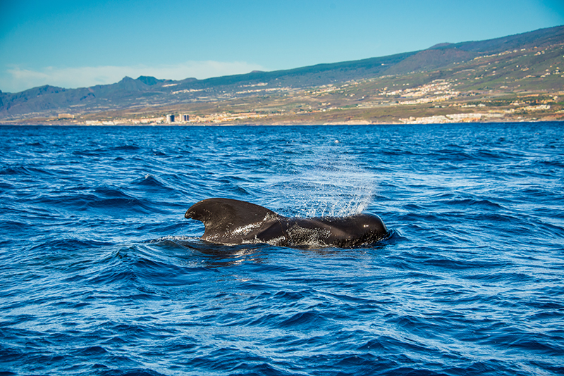 The waters around the Canary Islands are the best for whale and dolphin watching. There are so many species in these waters, you are always going to see some of these wonderful creatures - and the trips out are very reasonably priced.
