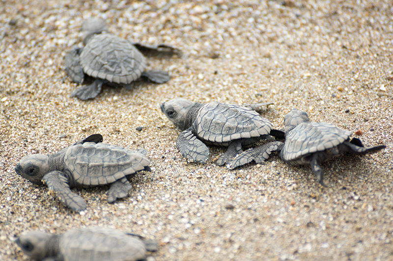 Sea turtles are nurtured on the shores of Myrtle Beach, where a nest management and protection programme is operated to help conserve these endangered creatures.