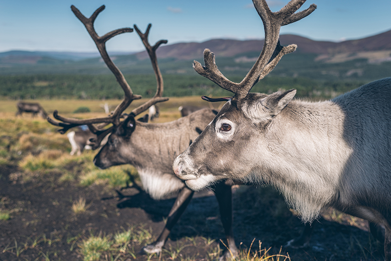 Reindeer remind us all of Christmas and Santa's seasonal dash, but these beautiful creatures are best viewed in the their natural habitat, in Cairngorm, Aviemore, where 150 of them roam around the Cairngorm hills and meadows.