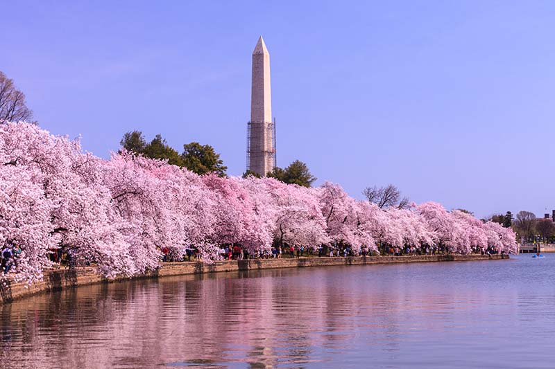 The Tidal Basin and East Potomac Park are home to around 3,000 pretty pink cherry trees from Japan. A beautiful sight to see on a spring day.