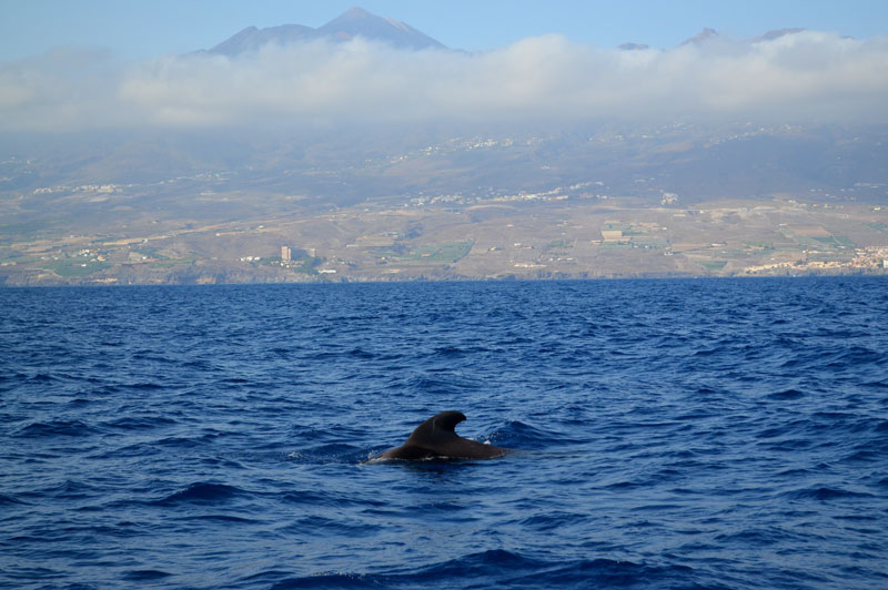 Boat trips out to sea to make friends with the dolphins are popular along this coast. You can cruise out with your expert and friendly guide from Los Cristianos and Playa de las Vistas, to name just a couple of starting points for these truly moving and memorable excursions.