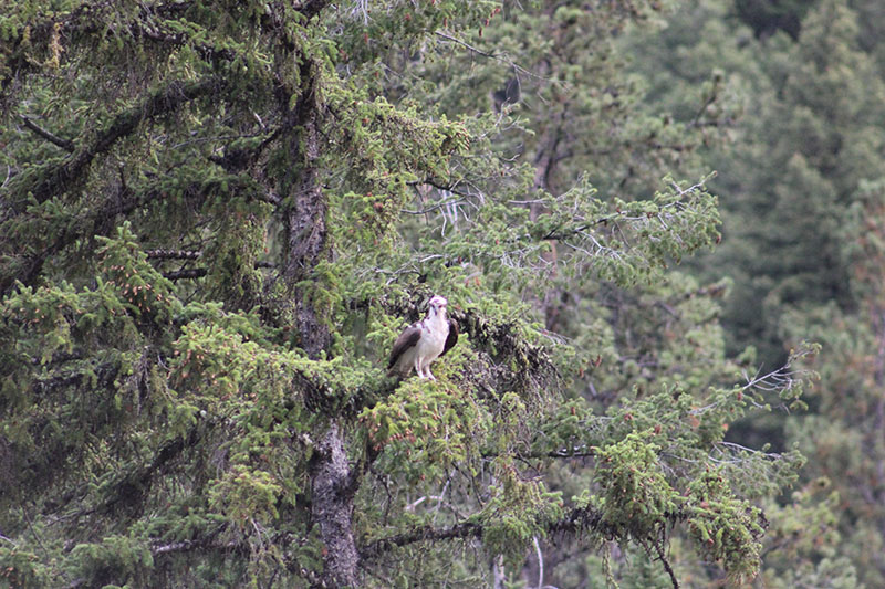 Yellowstone National Park is a mecca for wildlife. Make sure you take your binoculars so you don't miss the eagles and osprey swooping.