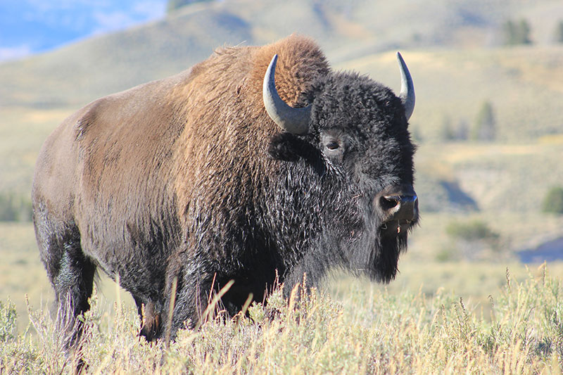 Steve managed to see so many bison wandering around Yellowstone, they became part of the norm while he was there.