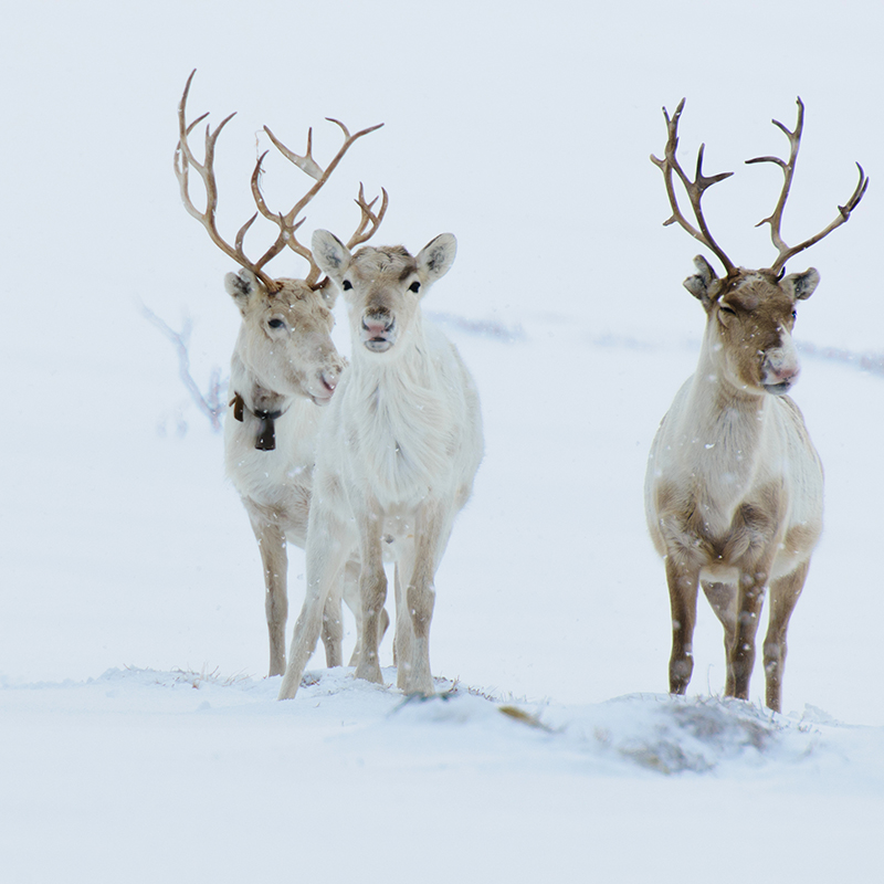 Sweden's beautiful snowy landscape is home to lots of reindeer. The Sami people are close to the animals, which they use for herding - this activity is only legal for Sami people.