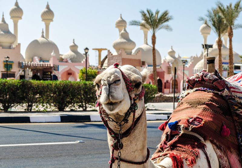One of the iconic sights of Egypt - the camel! Out on the continent of Africa, Egypt is a destination that is uniquely characteristic of its region and is a rarified adventure if you wander beyond the resorts.