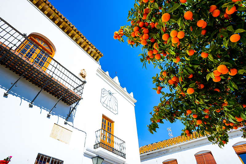 Fragrant Orange trees line the streets in the Andalucia region of Spain. The vibrant trees make the streets look so pretty.