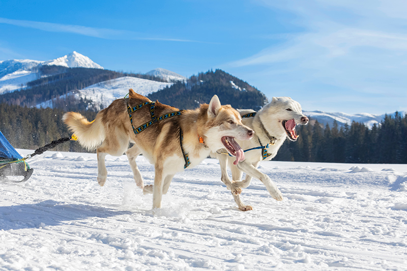 Siberian huskies are bred to run, and boy are they good at it!
