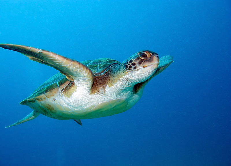 Get up and close with the loggerhead turtles - one of the most beautiful marine animals and swim alongside them.