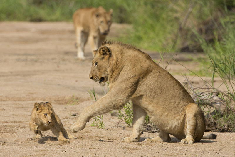 A lion cub enjoys and little rough and tumble with Mum - a wonderful sight not to be missed!