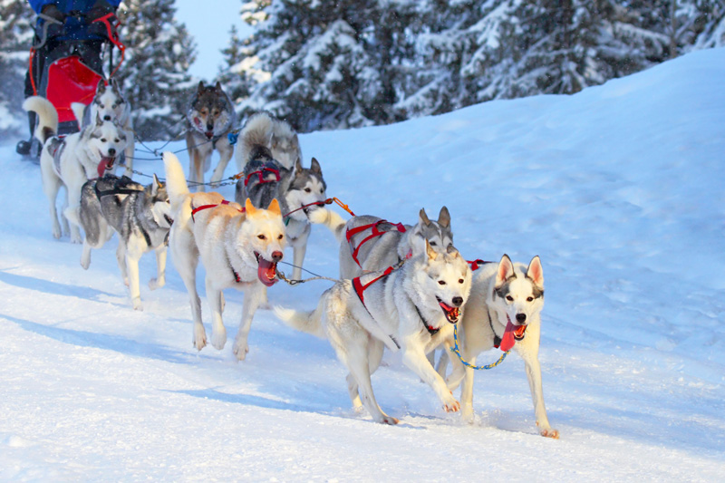 Huskies and snow go together like strawberries and cream. How often do you get to drive your own team of these magnificent creatures through the snow? A winter holiday is one of the few opportunities you'll get!