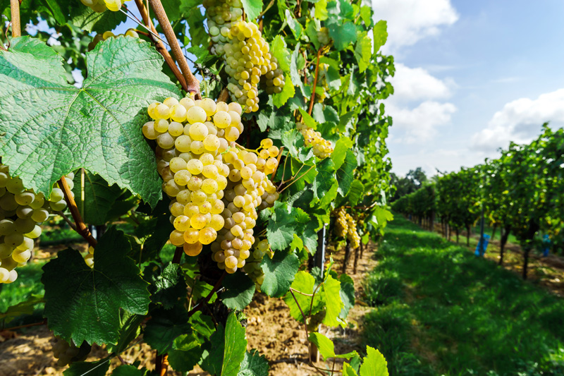 The Muscat grape is one of the best-known and most popular.