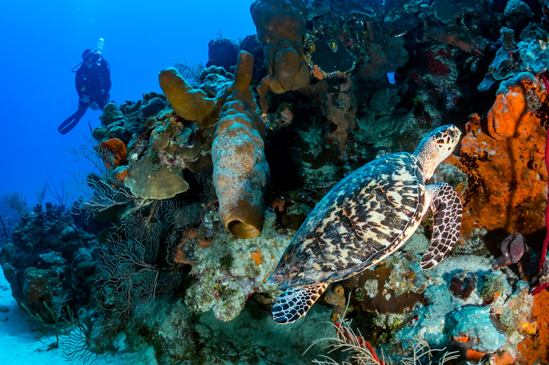The Cozumel reefs are home to over 500 different species of fish who you will see diving in and out of the 26 different types of coral.