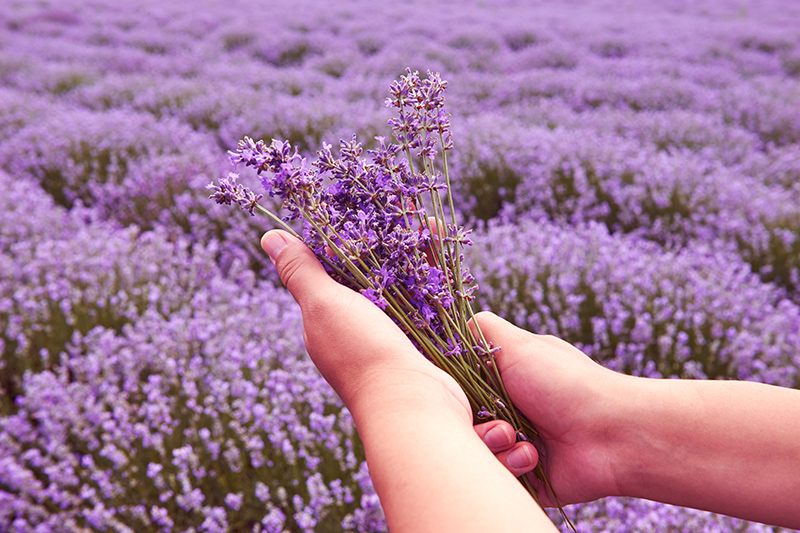 For something a little different, the annual Tihany Lavender Week is a great event for the green-fingered holidaymakers. The event kicks off at the town's Lavender field within Balaton Uplands National Park where you can pick your own bouquet and enjoy the fragrant scents.