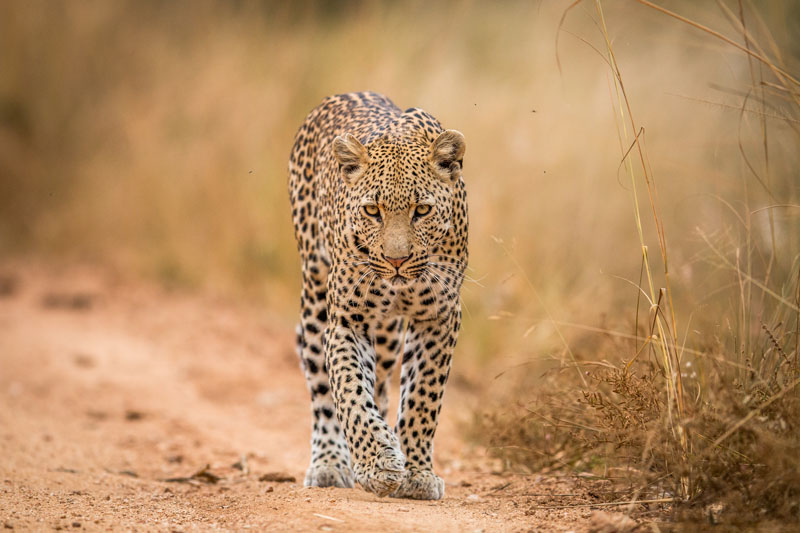 Leopards are the least social, but are perhaps the most beautiful of the African big cats.