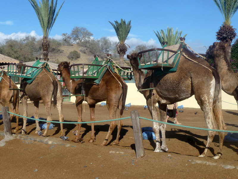 Why not take a ride on a camel and explore the sand dunes of Gran Canaria?