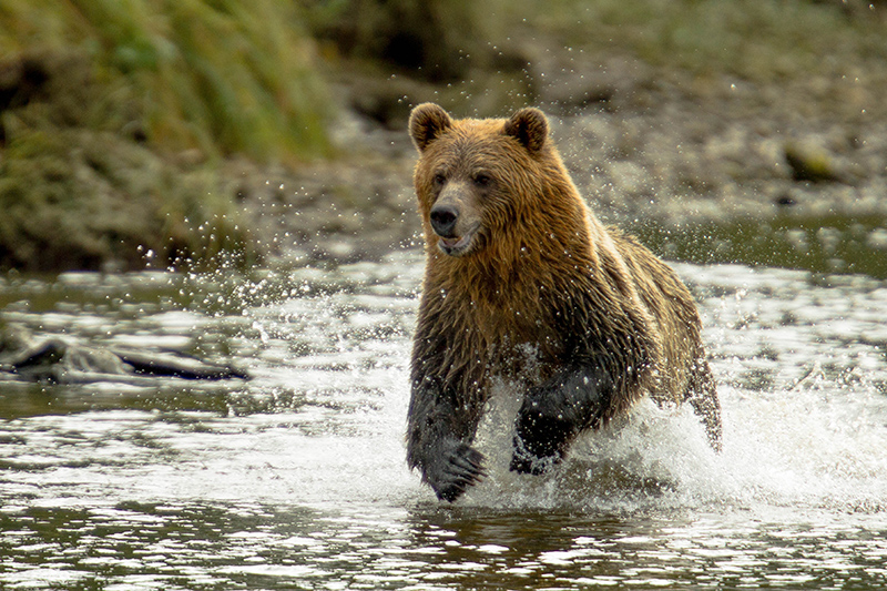If you're lucky enough, you may catch a glimpse of a wild bear on a specially-led tour of their natural habitat, in places such as National Park visitor centres in North America.