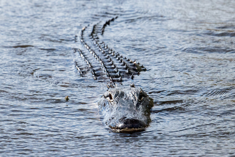 The Bon Secour Natural Wildlife Refuge is home to a diverse wildlife. You might even spot an alligator or two if you walk along the shores of Gator Lake.