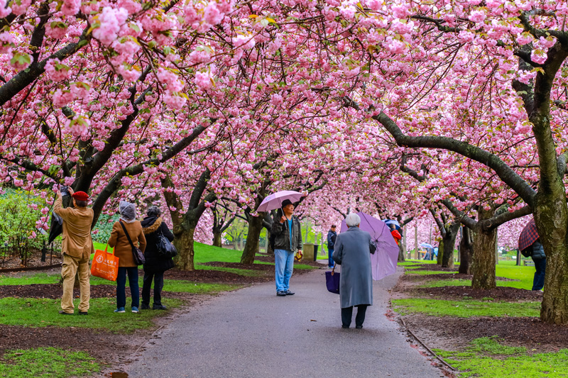 The 52 acre garden gives a taste of the Orient with its cherry blossom trees in the heart of Brooklyn.