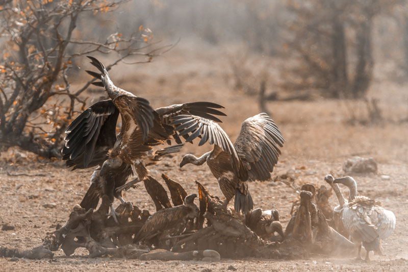 Kruger park is hugely popular with twitchers, due to its diversity of feathered species including eagles, vultures and storks, so take your binoculars.