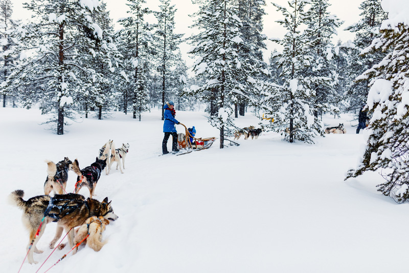 Impress your children - and yourself - by driving a team of huskies. Teams of six dogs pull you along, children safely in the sleigh while you 'drive' them from the back.