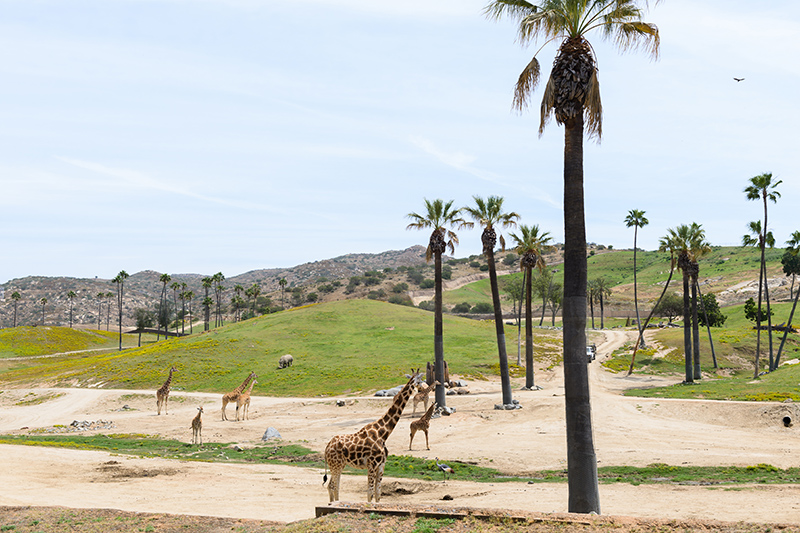 San Diego Zoo is a cage-less zoo that strives to home animals in open recreations of their natural habitat.